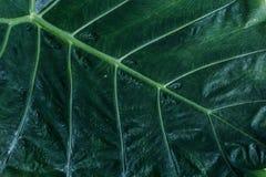 Hoogste mening van natuurlijke groene bladtextuur Het bladerenpatroon is detail Stock Afbeelding