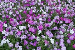 Hoogste mening van petunia in diverse schaduwen van roze stock fotografie