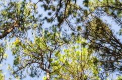 Hoogste mening van pijnboomboom en takken groene bladeren met blauwe hemel Stock Afbeelding
