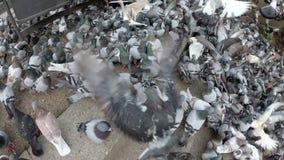 Hoogste Mening van Reusachtige Troep van Duiven die Brood in openlucht in het Stadspark eten stock videobeelden