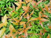 Hoogste mening van tak en bladeren de Australische Kers van Rose Apple of van de Borstel als achtergrond stock afbeeldingen