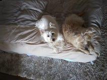 Hoogste mening van twee honden die op het bed met veel charme en één rusten die omhoog eruit zien stock afbeeldingen