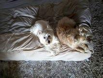 Hoogste mening van twee honden die op het bed met veel charme en één rusten die omhoog eruit zien stock foto's