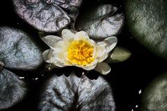 Hoogste Mening van Water Lilly Royalty-vrije Stock Foto