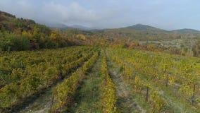 Hoogste mening van wijngaard op heuvel schot Druivenaanplanting op achtergrond van de herfstbos met heuvels Bewolkt weer met mist stock footage