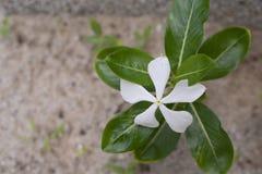 Hoogste mening van witte waterkersbloem stock afbeeldingen