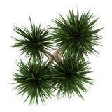 Hoogste mening van yuccapalm die op wit wordt geïsoleerde Stock Afbeelding