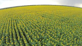 Hoogste mening van zonnebloemen stock videobeelden