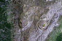 Hoogste menings dicht omhooggaand hoofd die van grote krokodil in vuil groen water drijven stock afbeelding