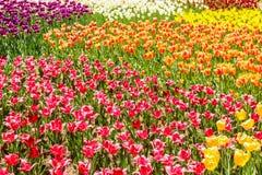 Hoogste menings Multi-colored tulpen in het park van de hitachikust stock afbeeldingen