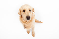 Golden retriever Stock Afbeelding