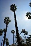 Hoogste palmen van Afrika stock afbeelding