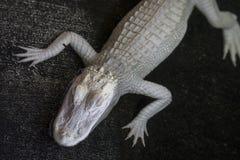 Hoogste Weergeven van Jeugdalbino alligator royalty-vrije stock foto