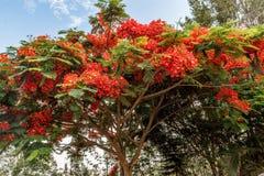 Hoogtepunt gekweekte rode gekleurde boom op een weg aan heuvelpost, Salem, Yercaud, tamilnadu, India, 29 April 2017 Royalty-vrije Stock Foto's