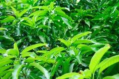 Hoogtepunt van bladeren, mangobomen Royalty-vrije Stock Foto's
