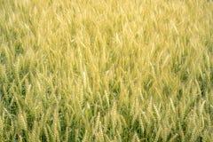 Hoogtepunt van Gouden padieveldachtergrond, Voedselconcept Stock Afbeelding