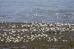Hoogwatervluchtplaats, приливные mudflats стоковые изображения rf
