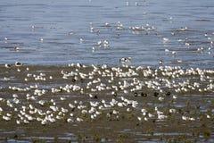 Hoogwatervluchtplaats, mudflats de marée images libres de droits