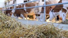 Hooi en koeien die dat in de schuur eten stock video