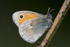 Hooibeestje liten hed, Coenonympha pamphilus fotografering för bildbyråer