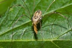 Hooiwagen die een Insect eet Royalty-vrije Stock Foto
