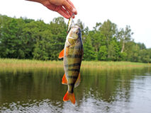 On a hook. European perch caught on wobbler against the landscape. Perca fluviatilis Royalty Free Stock Photography