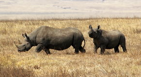 Hook-lipped (Black) Rhino, Ngorongoro Crater game. Male and femal rhinoceros couple, noble foragers of the east african savannah, grazing in Ngorongoro Game Royalty Free Stock Image