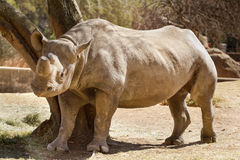 Hook-lipped Rhino Royalty Free Stock Photography