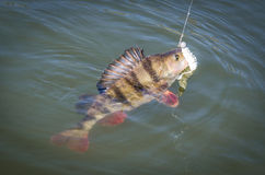 Hooked big perch on water surface Royalty Free Stock Photo