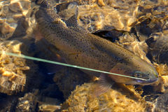 Hooked Cutthroat Trout Stock Image