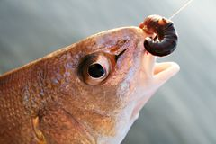 Hooked Fish Royalty Free Stock Images