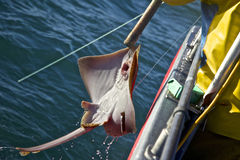 Hooked. A Guernsey fisherman brining a ray in to the boat royalty free stock images