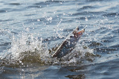 Hooked pike is fighting for freedom Stock Images