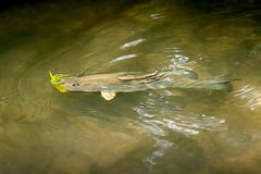 Hooked smallmouth bass swimming in the shallows. Of the Eleven Point River in Missouri viewed from above Royalty Free Stock Images