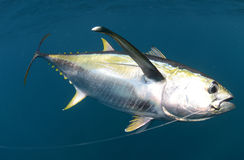 Hooked yellow fin tuna fish underwater Royalty Free Stock Images
