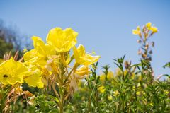 Hooker`s evening primrose Oenothera elata wildflower blooming on the Pacific Ocean coastline, California. Blue sky background Royalty Free Stock Images