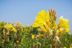 Hooker`s evening primrose Oenothera elata wildflower blooming on the Pacific Ocean coastline, California. Blue sky background Stock Images