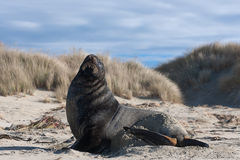 Hooker's sea lion. (Phocarctus hookeri), Cannibal Bay, The Catlins, New Zealand Royalty Free Stock Images