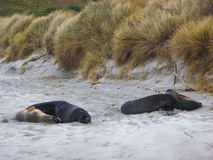 Hooker`s Sea Lions on St Kilda Beach, New Zealand. Stock Photo