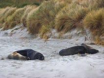Hooker`s Sea Lions on St Kilda Beach, New Zealand. Royalty Free Stock Photography
