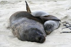 Hooker sealion and pup Royalty Free Stock Photography
