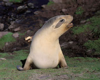 Hooker sealion. On the sub-Antarctic island of Enderby Stock Photos