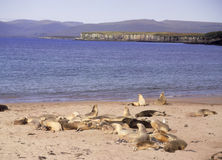 Hooker sealions. At a rookery on Enderby island near New Zealand Royalty Free Stock Images