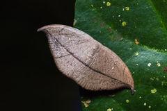 Hooktip moth on green leaf Royalty Free Stock Images