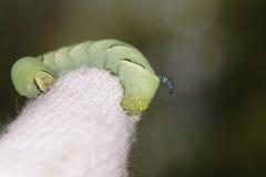 Hookworm on Gardener's Cotton Glove. Macro of a hookworm on a gardener's cotton glove Stock Photos