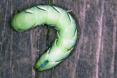 Hookworm na placa de madeira Imagem de Stock