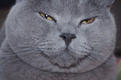 Hooligan British shorthair cat stock photography