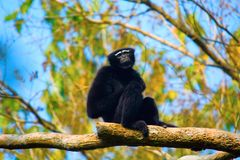 Hoolock长臂猿男性, Hoolock hoolock,长臂猿野生生物保护区 免版税库存图片