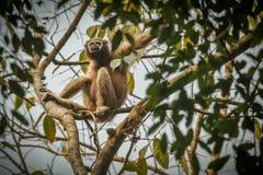 Hoolock长臂猿高在一棵树在自然栖所 图库摄影