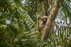 Hoolock长臂猿高在一棵树在自然栖所 库存照片